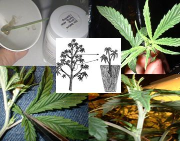 an analysis of the usefulness of cannabis Overcoming the complexities of cannabis analysis carl carnagey, founder and ceo of juniper analytics, is the first to admit he totally underestimated what it would take for his startup to earn accreditation as an official cannabis testing lab in oregon back in 2015.